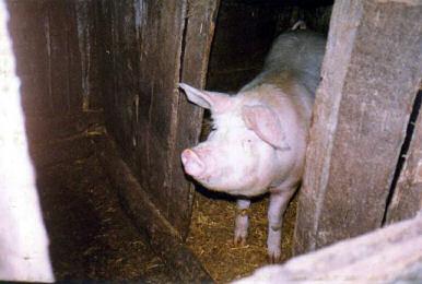 Il maiale, un rito per la civiltà paternese